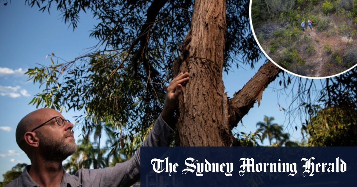 Mission to save Sydney's rarest eucalyptus species from extinction