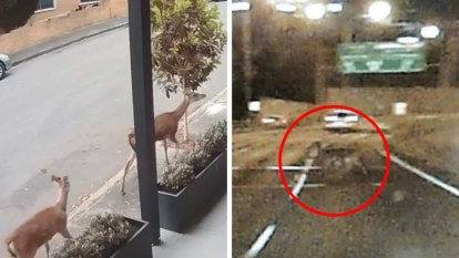 Why Sydney keeps finding deer wandering the streets