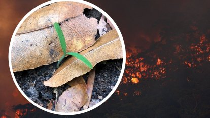 'Dinosaur trees' survived Black Summer, but they haven't recovered enough for the next bushfire