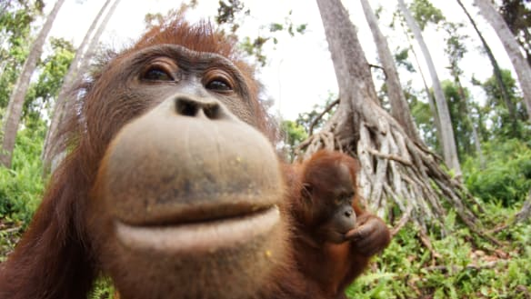 Welcome to the school for orphaned orangutans