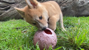 A dingo cub at the Dingo Discovery Sanctuary, Research and Education Centre in the Macedon Ranges.