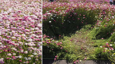 Paper daisy display at the Australian Botanic Garden Mount Annan. Left shows the display in 2017. Right shows trampled parts of the display from people taking selfies on Saturday and Sunday.
