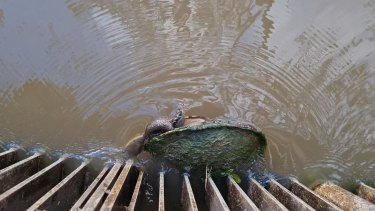 A turtle stuck against the regulator in the waters of Margooya Lagoon.
