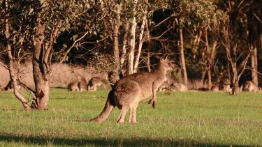 This male kangaroo has made a full recovery after it was struck by an arrow in an act of animal cruelty.