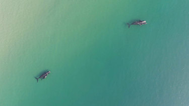 Southern Right whales off Jervis Bay.