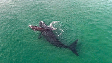 Mother and calf Southern Right whales.