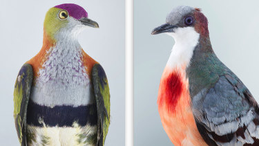 Left: Superb Fruit Dove (2017). Right: Bleeding Heart Dove (2017).