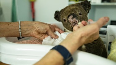 'It's going to be catastrophic': Koala shelters inundated as fire tears through bush habitat