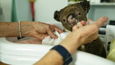 A number of koalas treated for burns at the Port Macquarie Koala Hospital were already dehydrated and in poor condition.