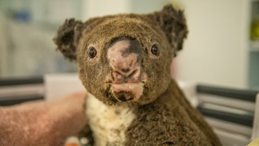 This koala is undergoing treatment for its burns and scars.