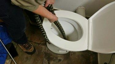 Snake catcher Jasmine Zeleny pulls a carpet python out of a toilet in Brisbane after the snake bit Canberra woman Helen Richards.