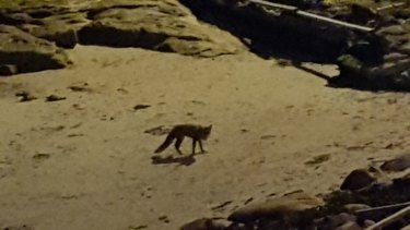 Fox at Gordon's Bay earlier this month.