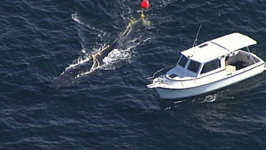 Authorities were notified of the whale's entanglement last Sunday.