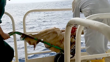 A frame grab from a video showing dead sheep thrown overboard during live export.