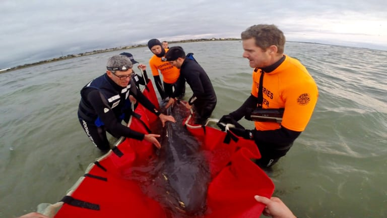 Rescuers tried for hours to save the pregnant whale, but to no avail.