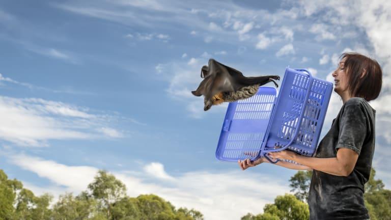 Wildlife carer Traycee releases a grey-headed flying fox.
