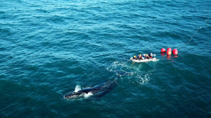 Humpback whale tangled in fishing gear rescued off WA coast