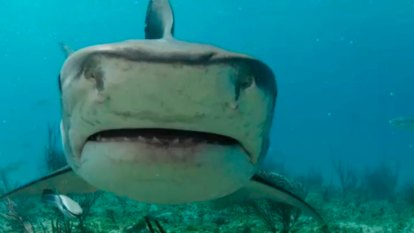Great Barrier Reef shark protections to be rolled out after court grants temporary stay
