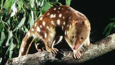 Evidence of an endangered spotted-tail quoll has been found in rocky bushland in Logan.