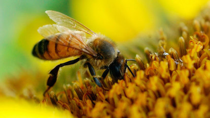 B&Bs for bees: the bid to save Sydney's pollinators