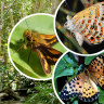 Australian fritillary butterflies join unenviable list of those facing extinction