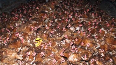 Footage shot by animal rights advocates inside the Lakesland egg farm shed.