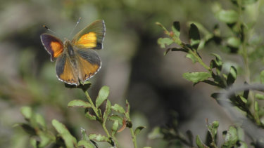 The Eltham copper butterfly on a sweet bursaria plant in Greensborough.