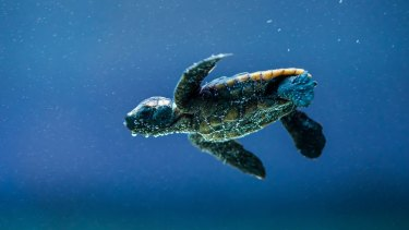 About 70 turtles will hatch in front of festival goers.