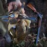 Outcry as duck hunt numbers increase