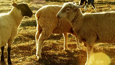 Animals Australia is bidding to stop the live export of tens of thousands of sheep.