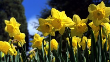 It's the season for daffodils.