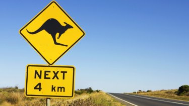 Kangaroos often jump out from scrub on the side of a road: they are the highest cause of animal and vehicle crashes in Queensland.
