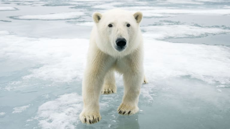 A polar bear on melting ice off the coast of Svalbard, Norway. The vast majority of Australians say they are concerned about climate change.