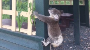A council worker told Koala Rescue Queensland he found this koala screwed to the pole in the Sunshine Coast hinterland.
