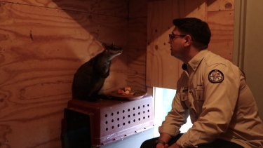 David Sharaz pretending to be a ranger in the video with his beloved Rhonda the rock wallaby.