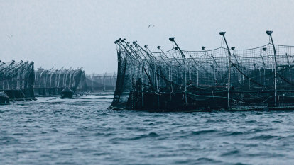 'The battery hen of the sea': the fight to clean up Tassie salmon farms