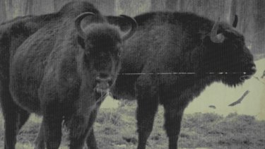 The European bison (pictured here in 1986) has shown signs of recovery.