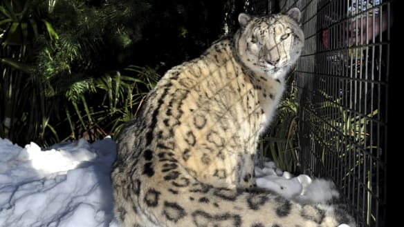 National Zoo and Aquarium's last remaining snow leopard Sheva has died