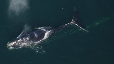 A North Atlantic right whale swims with a fishing net tangled around her head off the coast off Daytona Beach, Florida, in a file picture