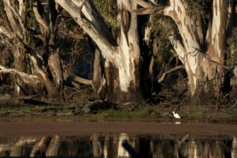 A grove of river red gums inside the Murray Valley National Park.