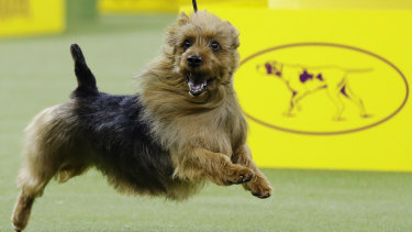 Also ran: Bacon, an Australian terrier, competes with the terrier group, but didn't win.