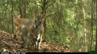 A black-striped Wallaby and joey caught on camera as part of a post-fire monitoring program by Southern Cross University with support from the National Parks and Wildlife Service and the Environmental Trust.