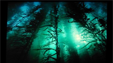 The ocean around Tasmania used to be renowned for forests of giant kelp, with strands measuring 12 metres, but most of it has died off as the waters have warmed.