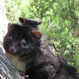 The Western ring-tailed possum has just had its status upgraded to critically endangered.