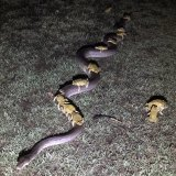 Monty the python carrying cane toads on its back in Kununurra in WA's Kimberley region.