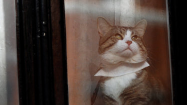 A cat, believed to be Julian Assange's, looks out of a window at the Ecuadorian embassy in London last year.
