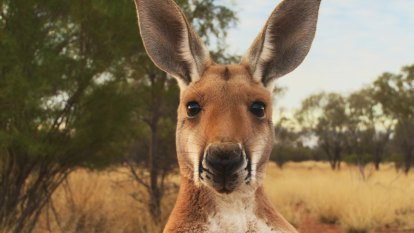 'Often seems drugged': protest about kangaroo found in poor condition in US petting zoo
