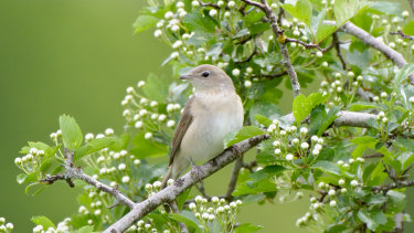 New research has found garden warblers will risk death just for a good nap.