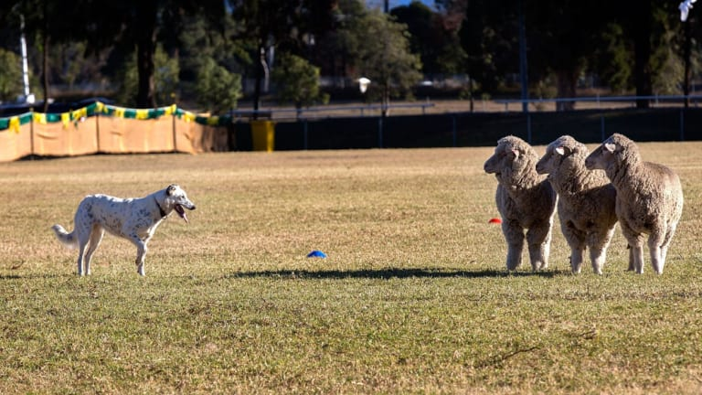 Sheepdog trials are in Bungendore this weekend.