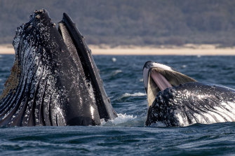 Humpback whales surfacing off Merimbula, on the NSW South Coast. Humpbacks have baleen, a type of filter instead of teeth that allows them to capture krill and other small fish.